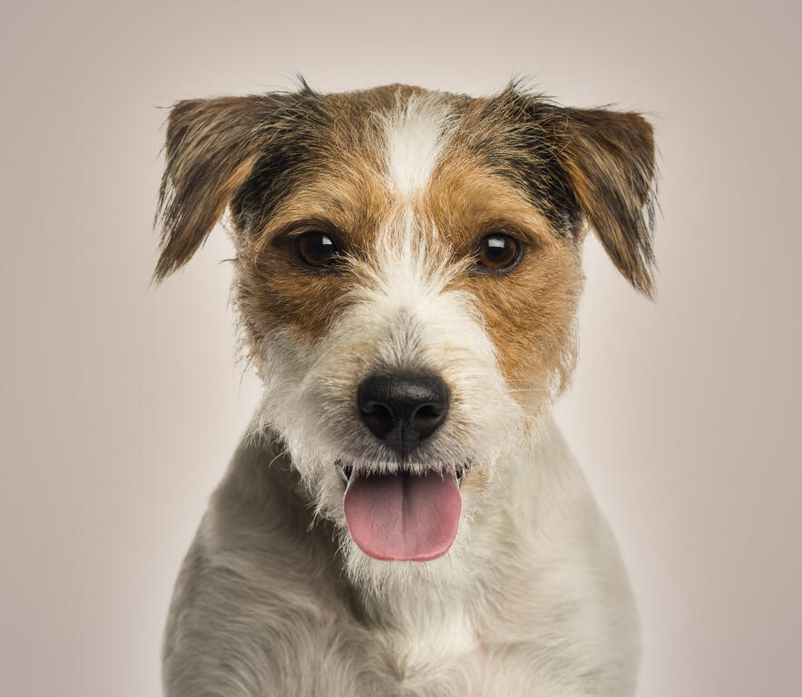 Parson Russell Terrier | Dogs | Breed Information | Omlet | 885 x 768 jpeg 60kB