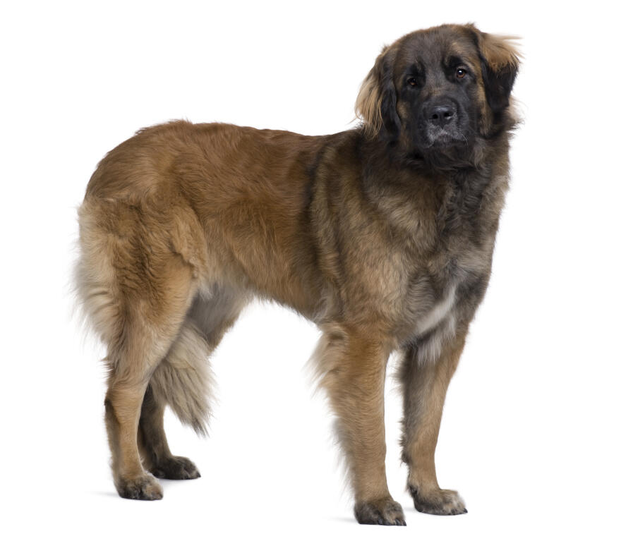 Leonberger | Dogs | Breed Information | Omlet