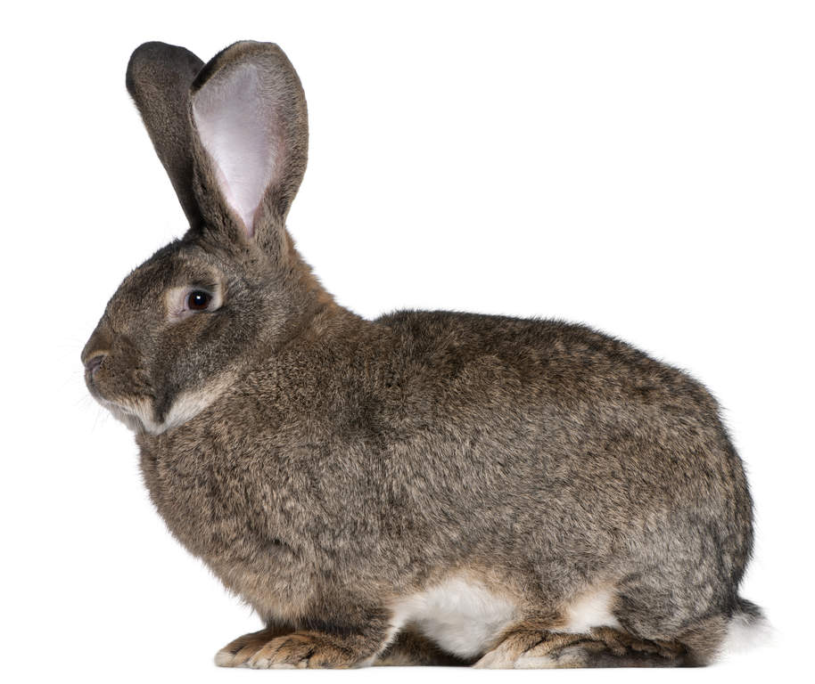 Flemish Giant For Sale Rabbits Breed Information Omlet