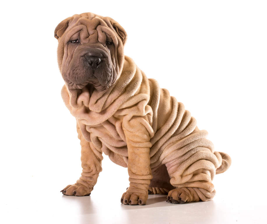 the gallery for gt black shar pei