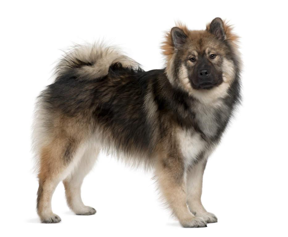 Eurasier | Dogs | Breed Information | Omlet