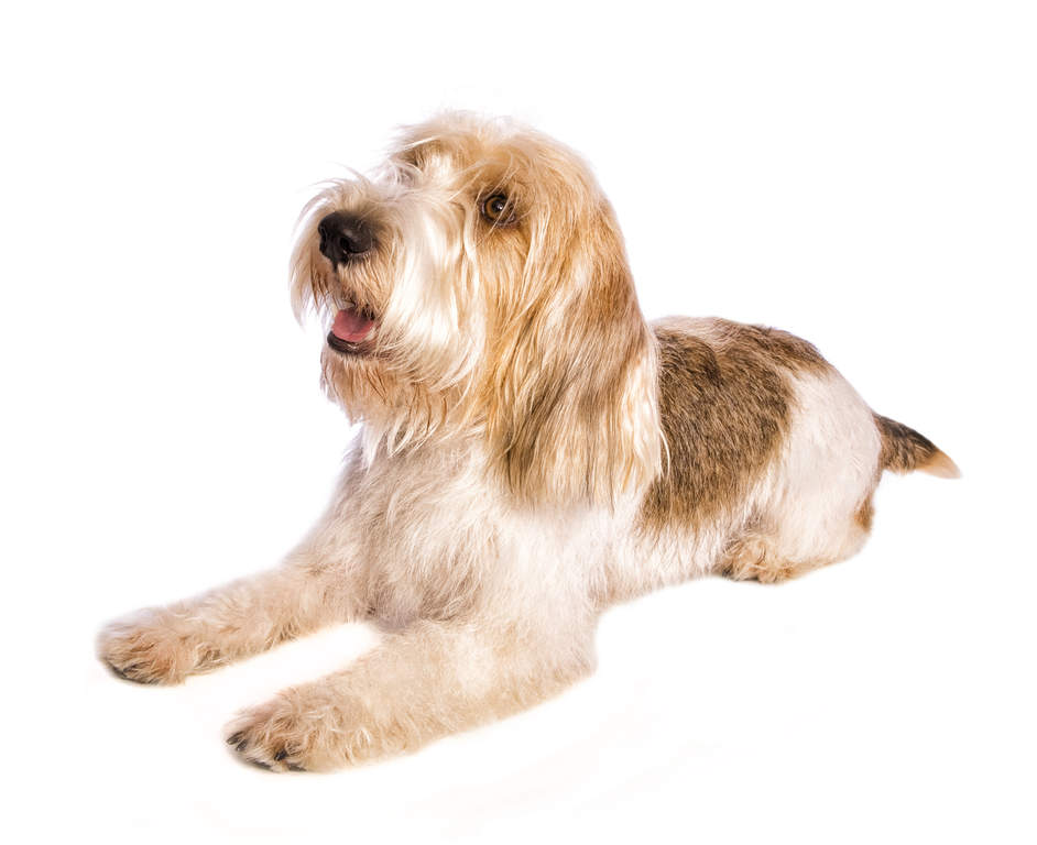 Basset griffon vendeen petit dogs breed information omlet - Petit basset hound angers ...