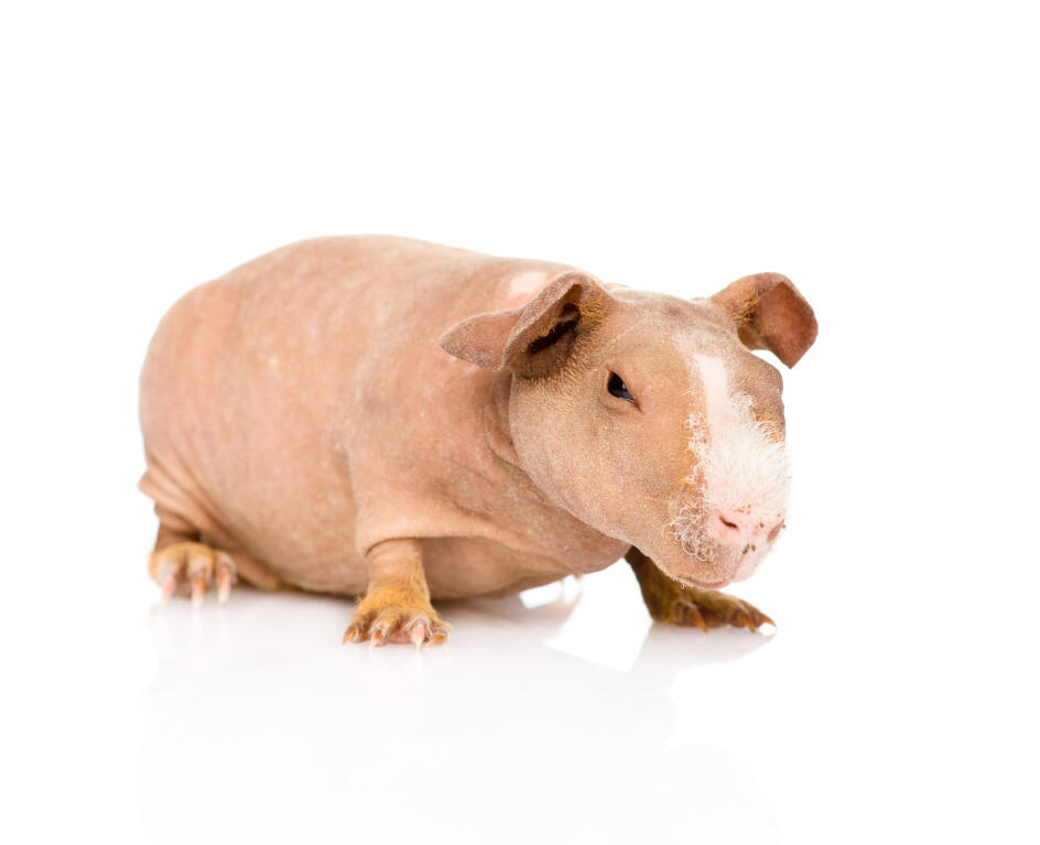How To Care For Hairless Guinea Pigs Skinny Pigs