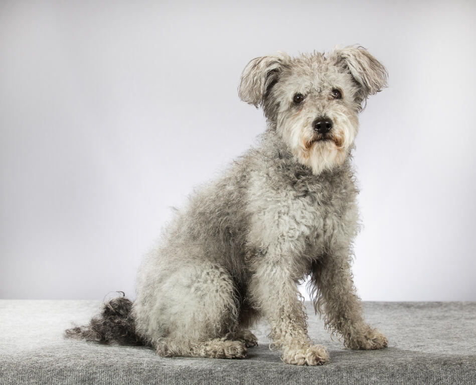 Hungarian Pumi Dogs Breed Information Omlet