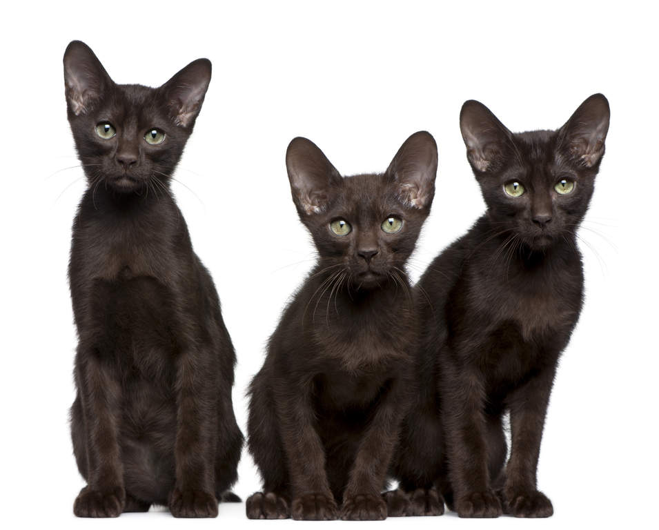 Havana Brown Cats Breed Information Omlet