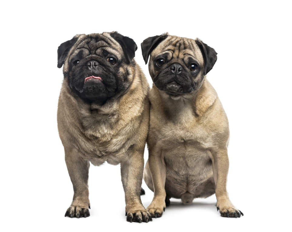 Small Toy Pugs : Pug dogs breed information omlet