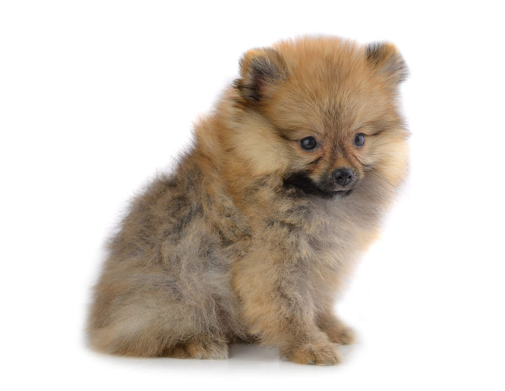 Pomeranian Dogs Breed Information Omlet