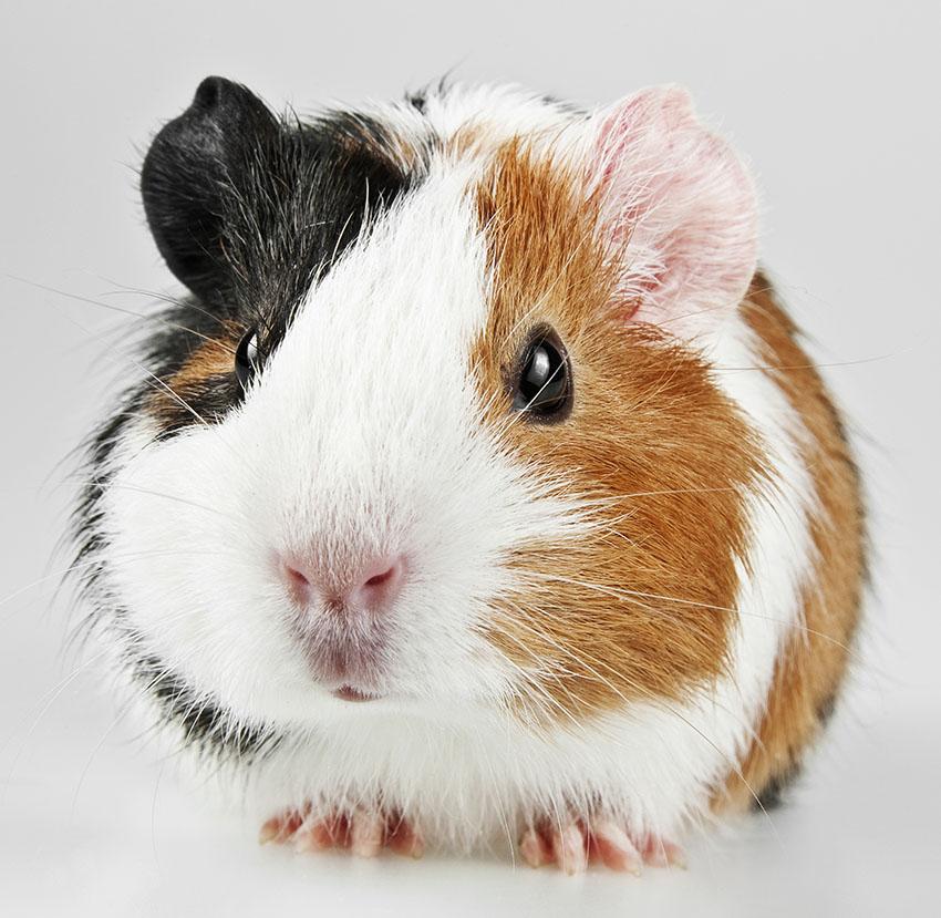 Guinea pig varieties choosing a guinea pig guinea pigs guide american guinea pig sciox Gallery