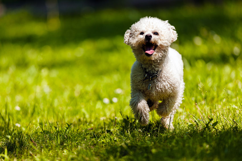 Breeds Bichon Frise running on grass outdoors