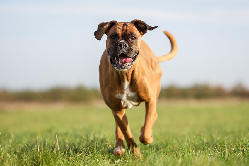 Breeds Boxer with short coat and tail intact