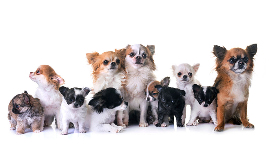 Breeds Chihuahua family
