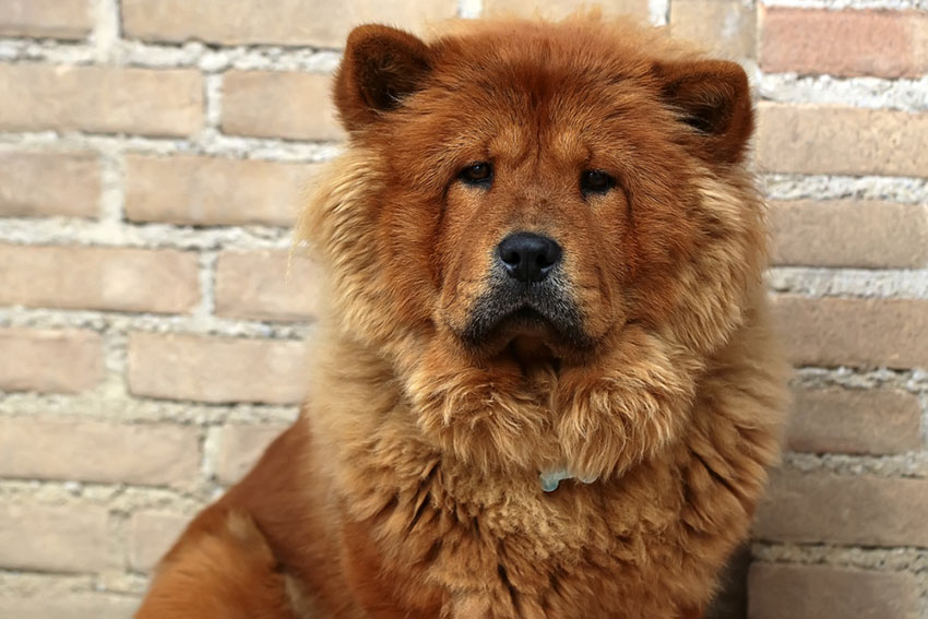 Breeds Chow chow serious face