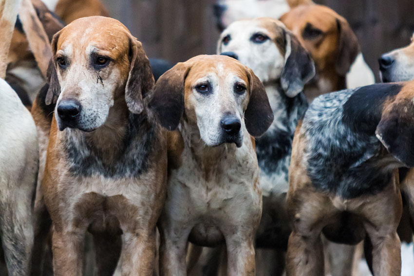 Breeds English Foxhound