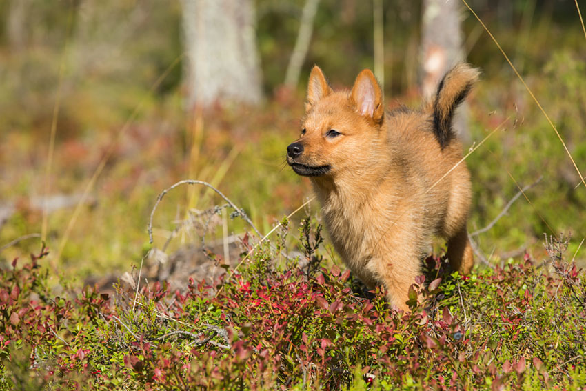 Breeds Finnish Spitz outdoors walking in woodland