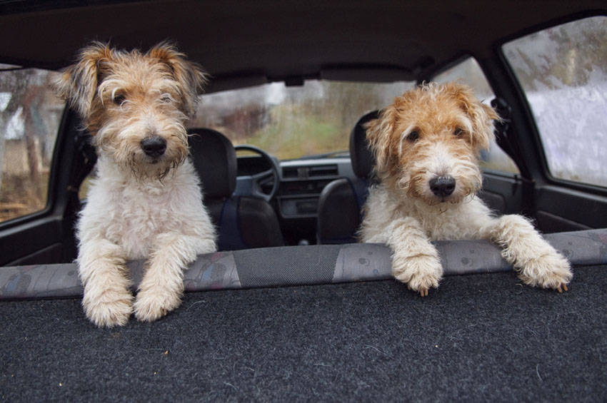 Breeds Fox terriers in car