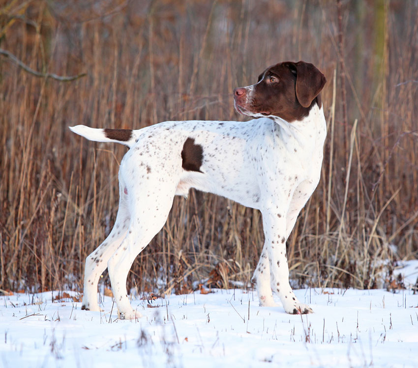 Breeds French Pointer outdoors in snow