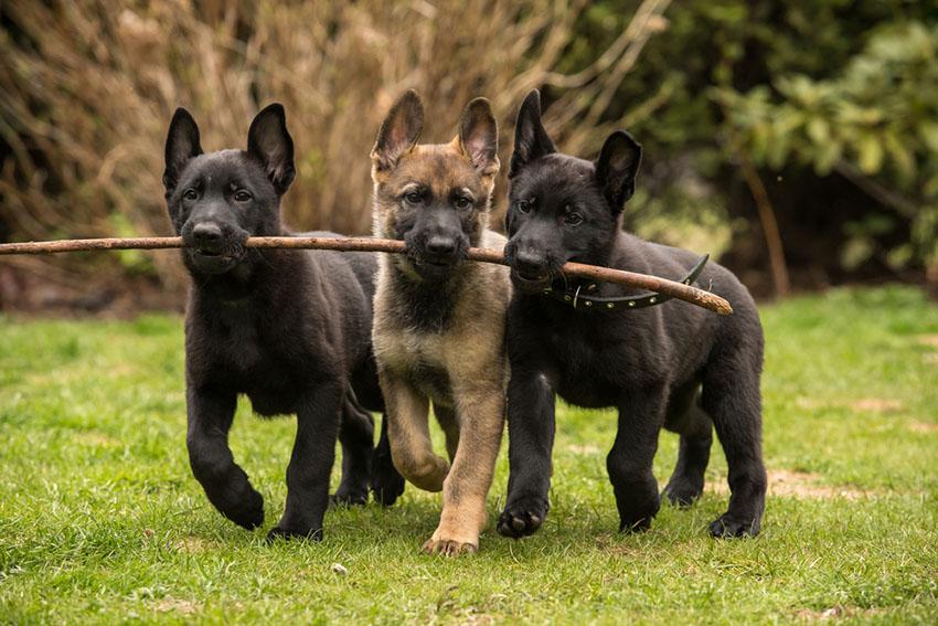 Breeds German Shepherd puppies fetching a stick