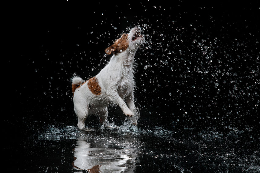 Breeds Jack Russell loves the water