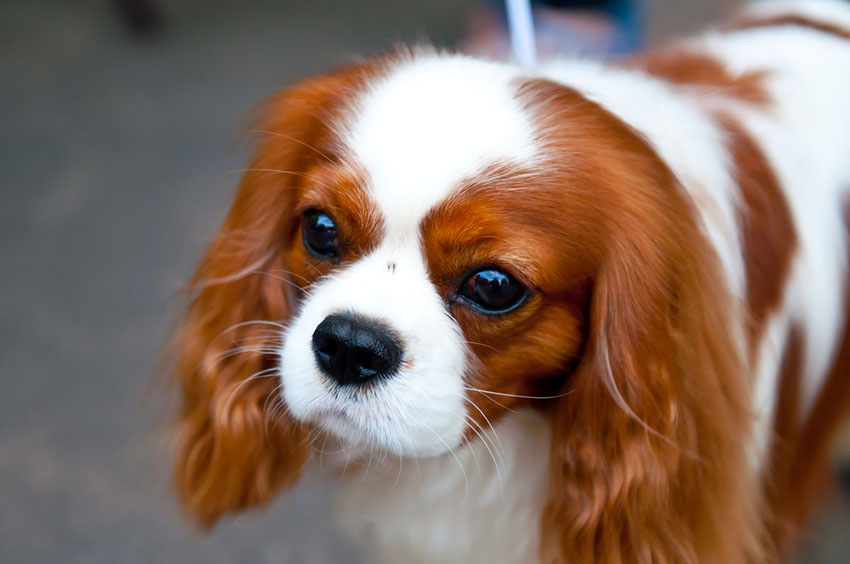 Breeds King Charles Spaniel big eyes