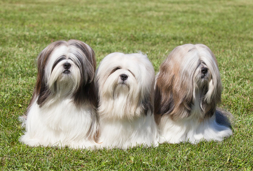 Breeds Lhasa Apso three dogs on lawn