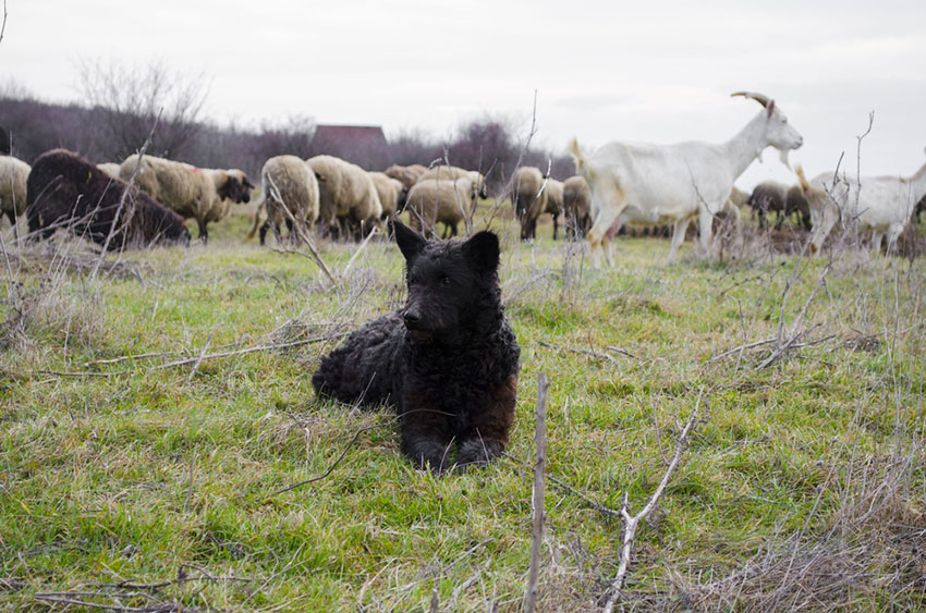 Breeds Mudi Hunarian herding dog with sheep and goats