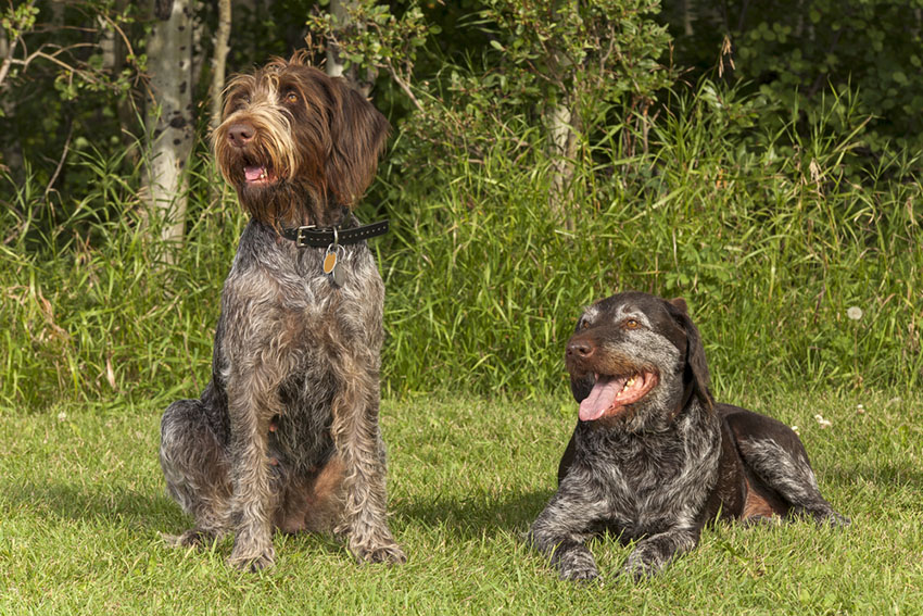 Breeds Pointer Griffon hunting dog pair old and young