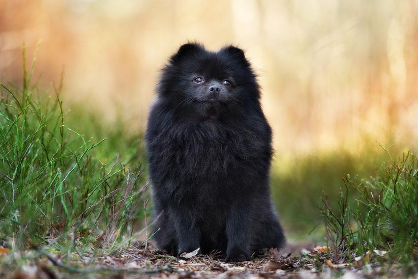 Breeds Pomeranian Spitz