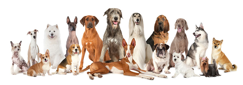 Purebreeds pedigree dogs with different coat types