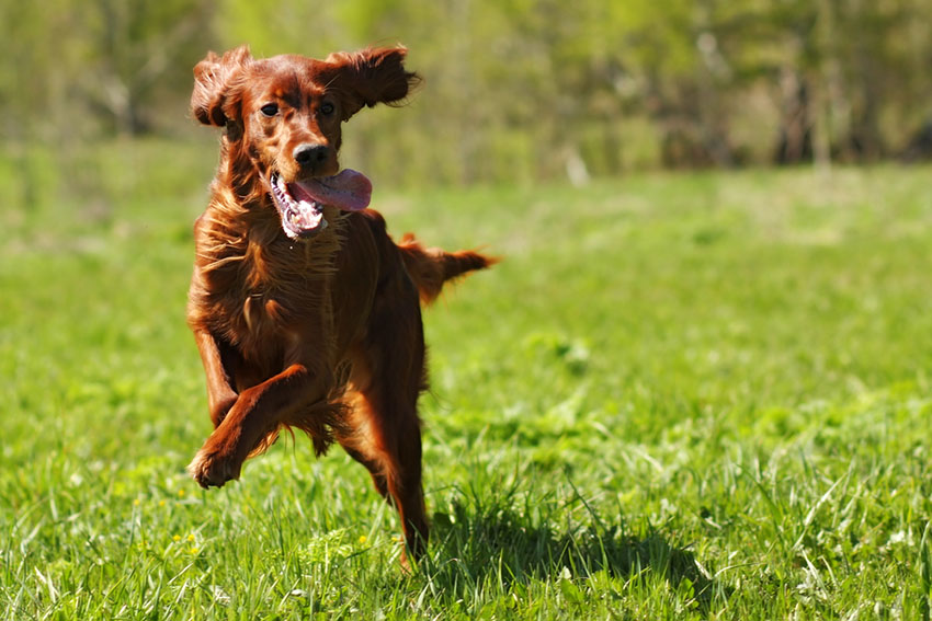 Breeds Red Setter on grass running tongue out
