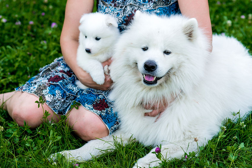 Breeds Samoyed adult and puppy