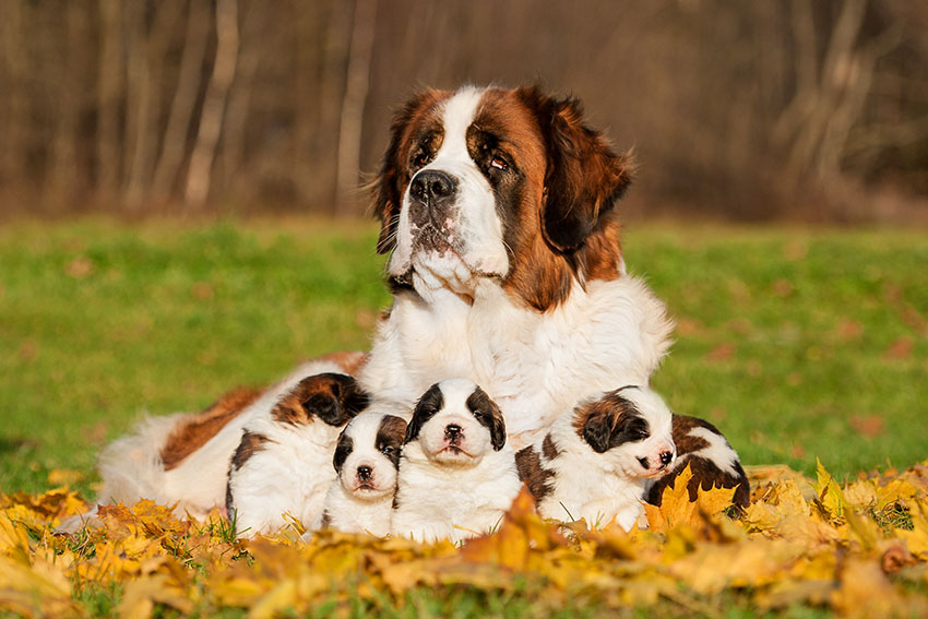 Breeds St Bernard family outdoors