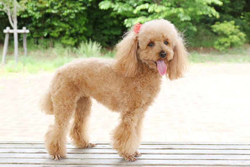 Breeds Toy Poodle ribbon in hair