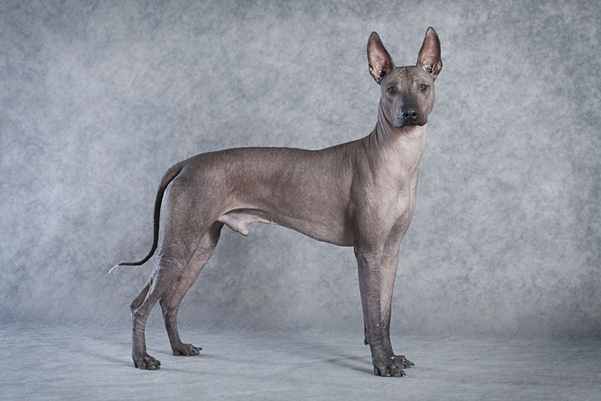 Breeds Xoloitzcuintle aka Mexican Hairless
