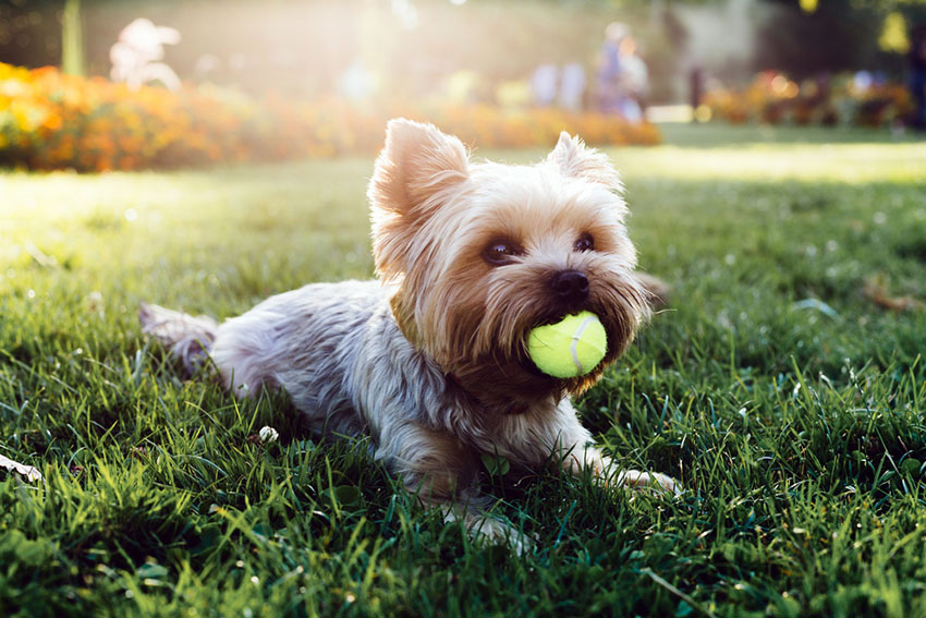 Breeds Yorkshire Terrier with ball