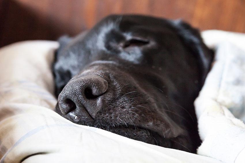 Breeds black Labrador asleep in bed
