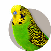Guide To Keeping Budgies