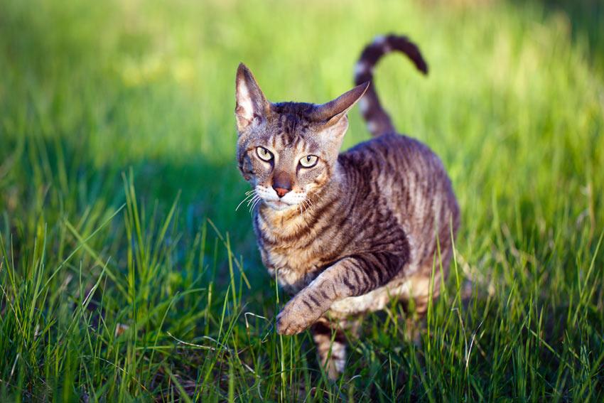 Katze Antiallergen