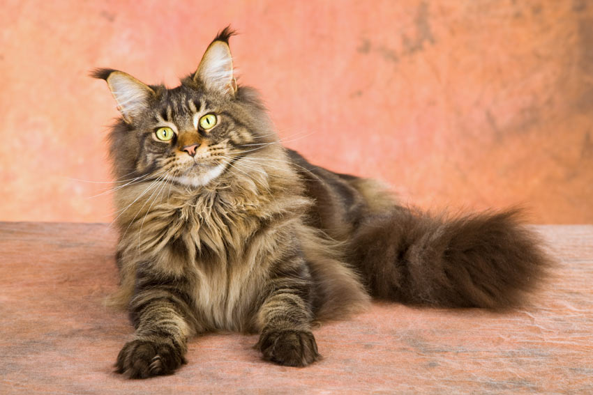 Cat Coat Types | Choosing The Right Cat For You | Cats | Guide | Omlet UK