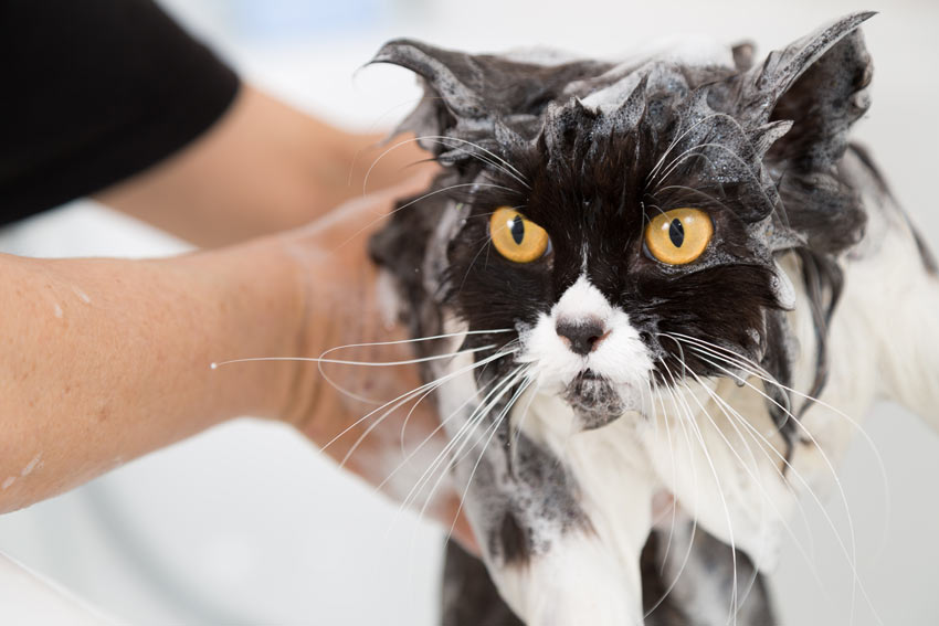 How To Bath A Cat Cat Care Cats Guide Omlet Uk