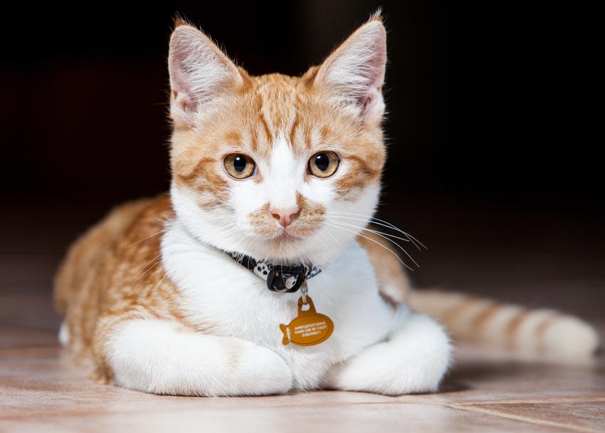 Can I Microchip My Cat