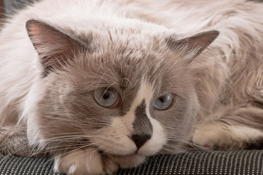 A grey and white Ragdoll Cat thats good with children