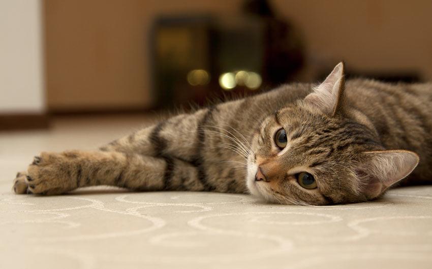 bengal cat michigan rescue