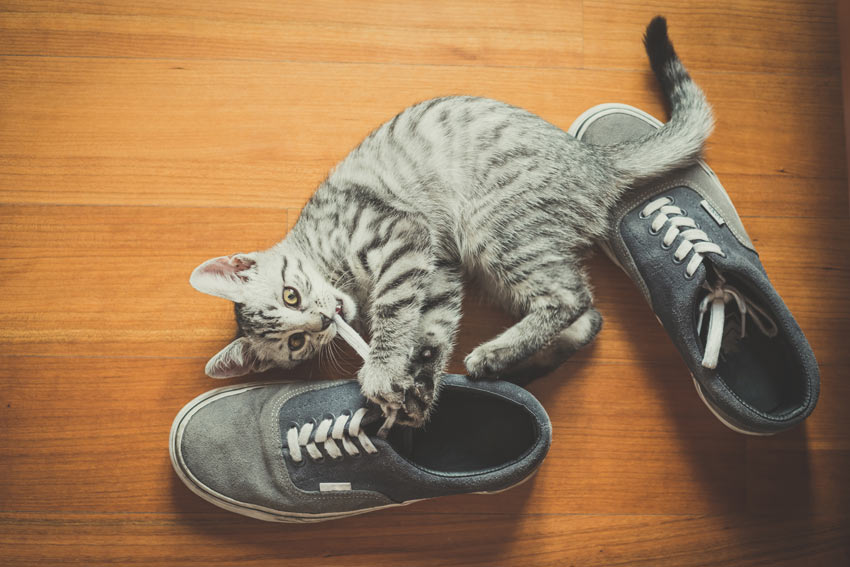 A lovely little tabby cat kitten playing with a pair of shoes
