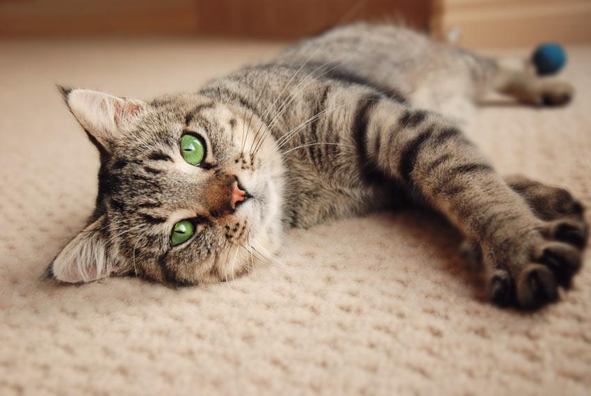 Cat has peed on carpet