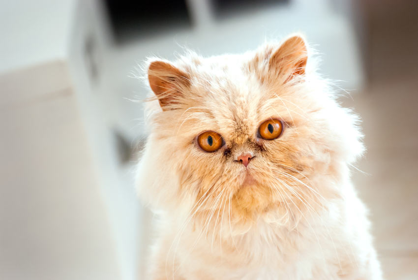 7 Friendliest Cat Breeds | Choosing The Right Cat For You ...