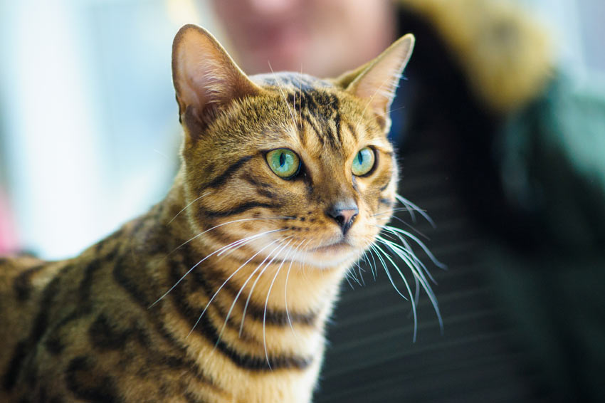 A Bengal Cats Personality 7 Most Intelligent Cat...