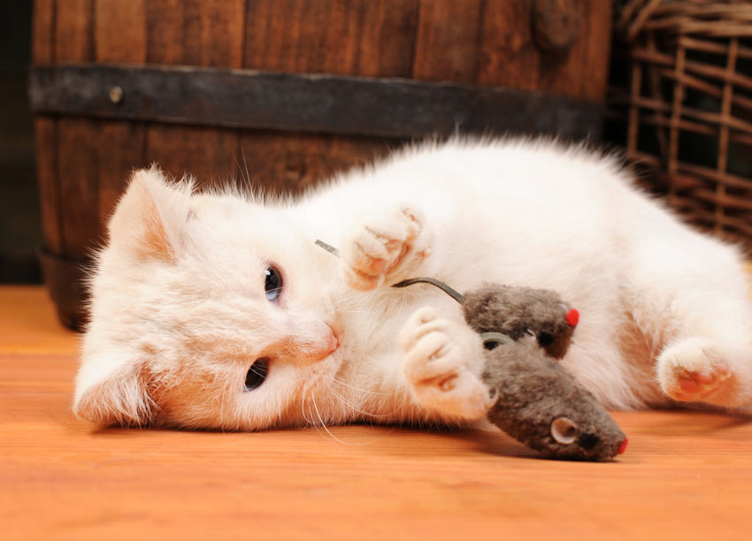 A young white kitten playing with a toy mouse