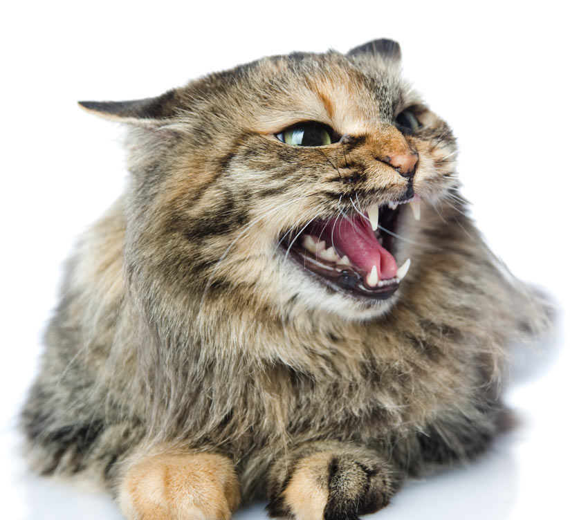 https://www.omlet.co.uk/images/originals/Cat-Cat_Guide-An_angry_cat_hissing.jpg