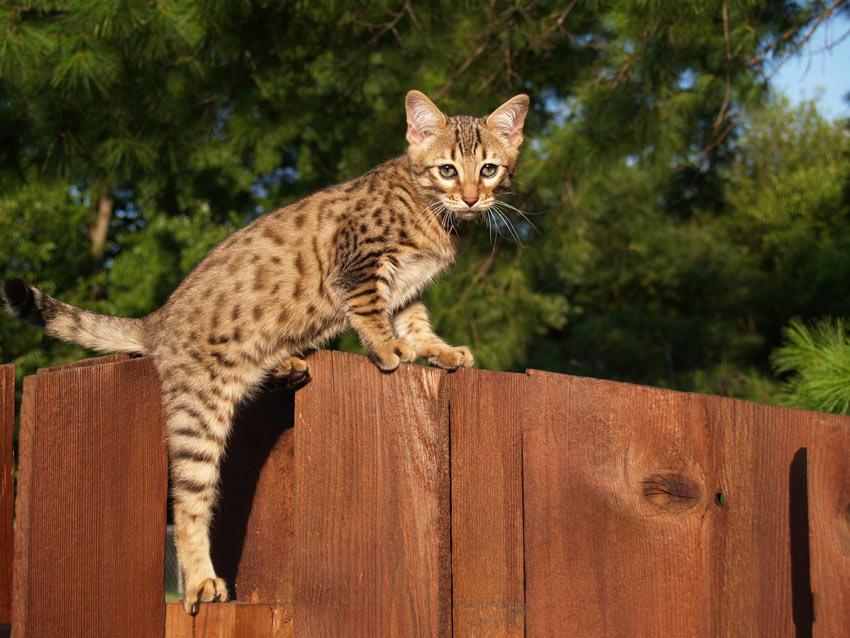 what is a savannah cat