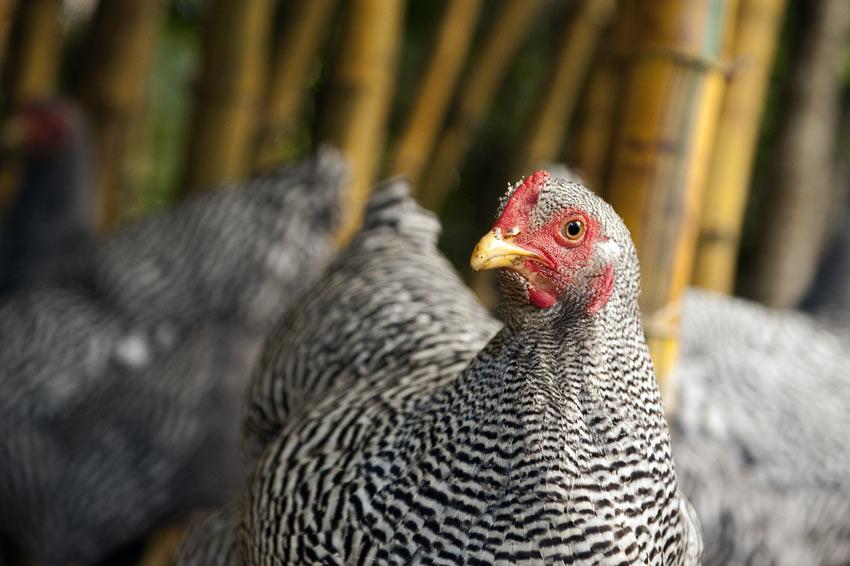 White plymouth rock chicken